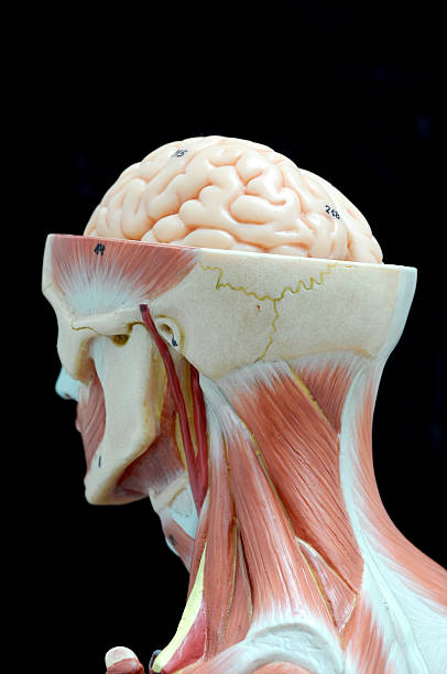 Silhouette Wet Man Muscles Back Flex Stock Image - Image