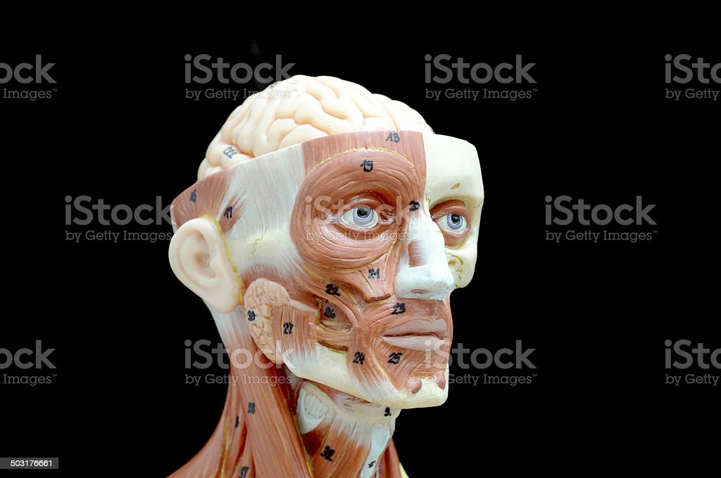 Сексуальная анатомия