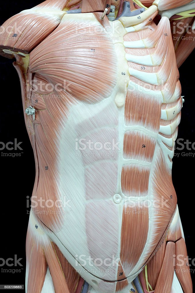 Human Muscle Stock Photo & More Pictures of Abdominal Muscle | iStock