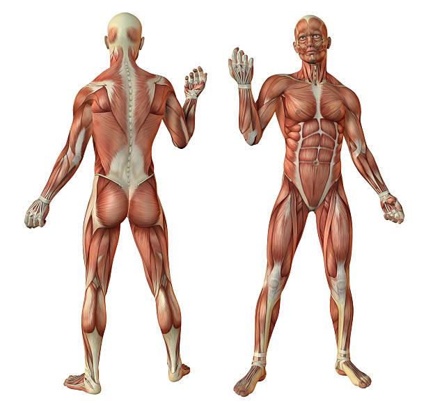human muscles anatomy stock photo