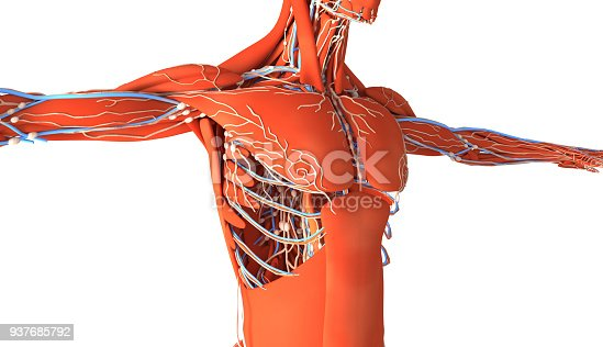 Human muscles with skeleton, arteries and vascular system