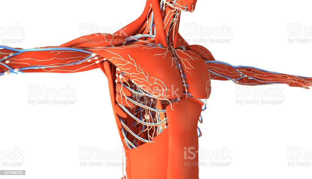 Human muscles with skeleton, arteries and vascular system stock photo