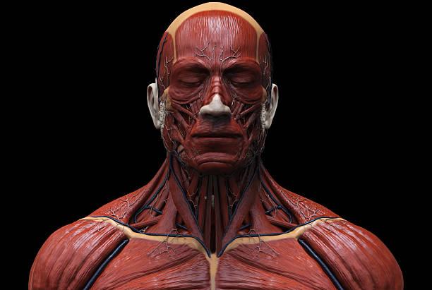 Menschlicher Muskelstruktur Stockfoto 512906558 | iStock