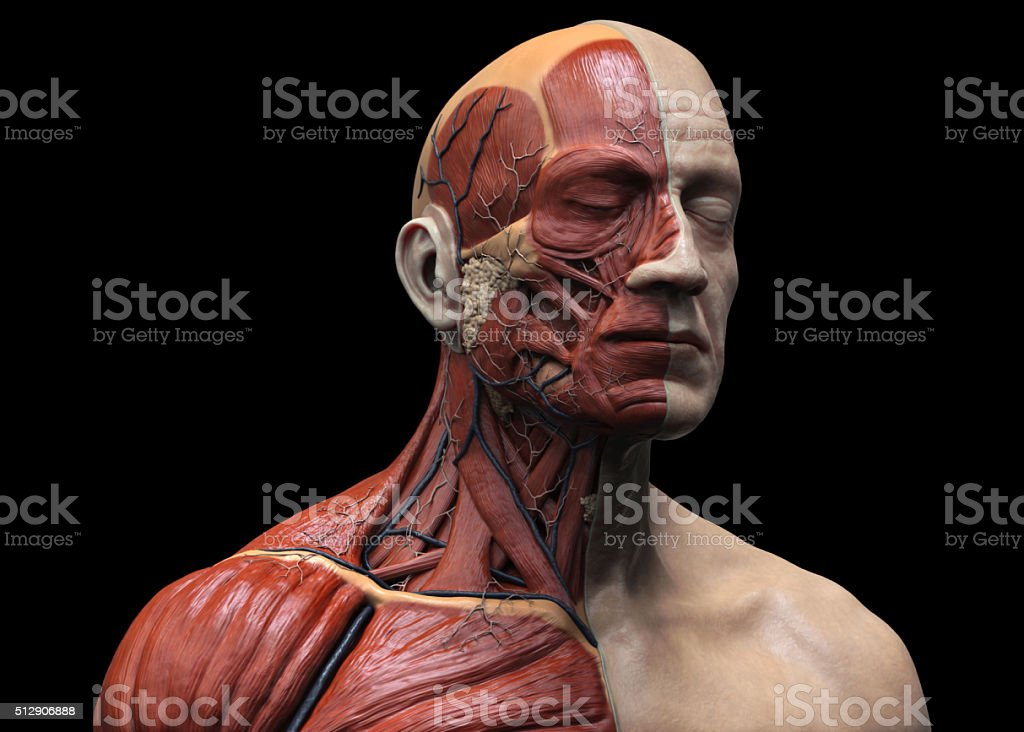 Human muscular structure stock photo