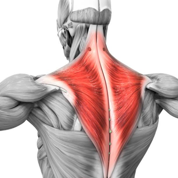 Human Muscular System Parts Trapezius Muscle Anatomy stock photo