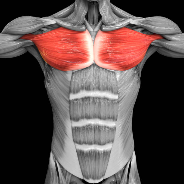 Human Muscular System Torso Muscles Pectoral Muscles Anatomy stock photo