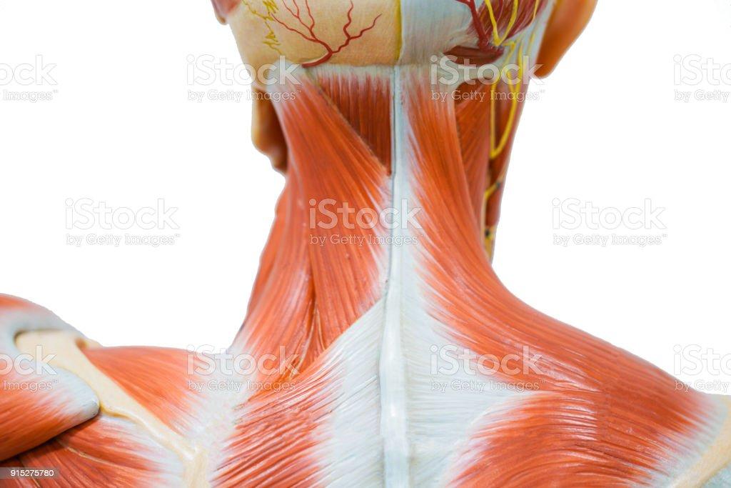 Menschlichen Hals Muskeln Anatomie Für Die Ausbildung Stock ...