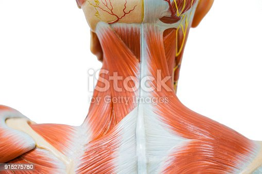 istock Human neck muscle anatomy for the education. 915275780