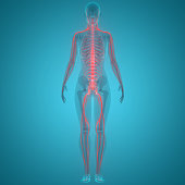 istock Human Nervous System Anatomy 1133199477