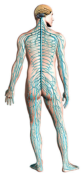 Human nervous system diagram. Anatomy cross section, clipping path included.