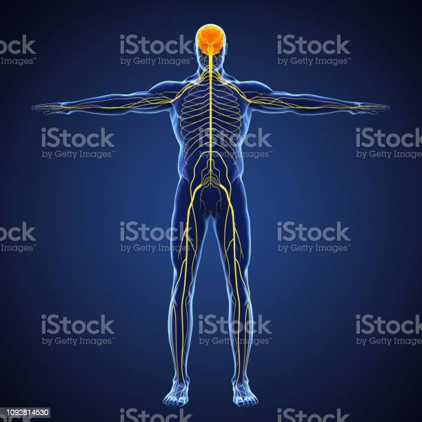 Human nervous system illustration picture id1092814530?b=1&k=6&m=1092814530&s=612x612&h=iurglqraeciq 0rv3bbepxmo1a6yfe8jegscusilrsk=