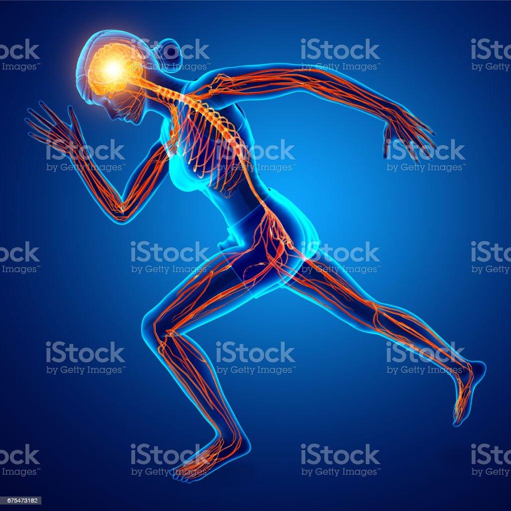 Human Nervous System stock photo