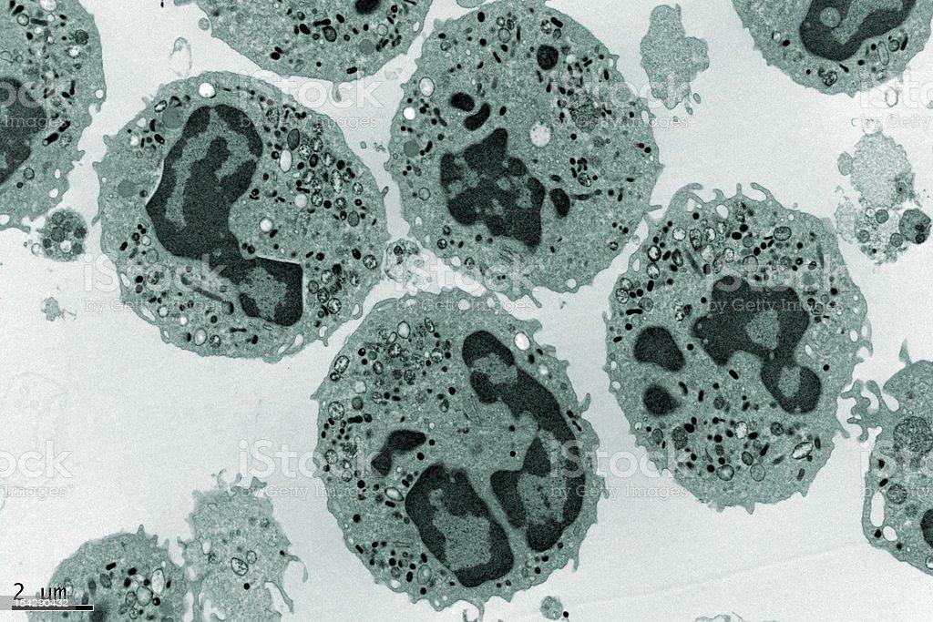 Human Neutrophils stock photo