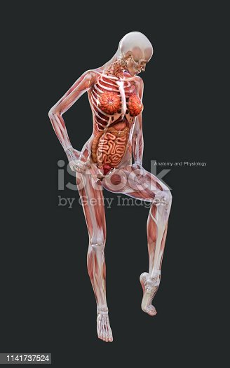 3d Illustration Human of a Female Skeleton Muscle System, Bone and Digestive System with Clipping Path