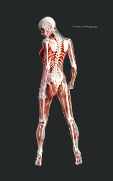 Mens van een vrouwelijk skeletspier systeem met clipping Path foto