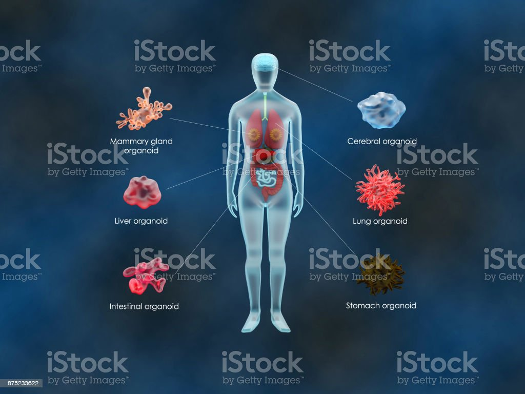 Human organoids stock photo