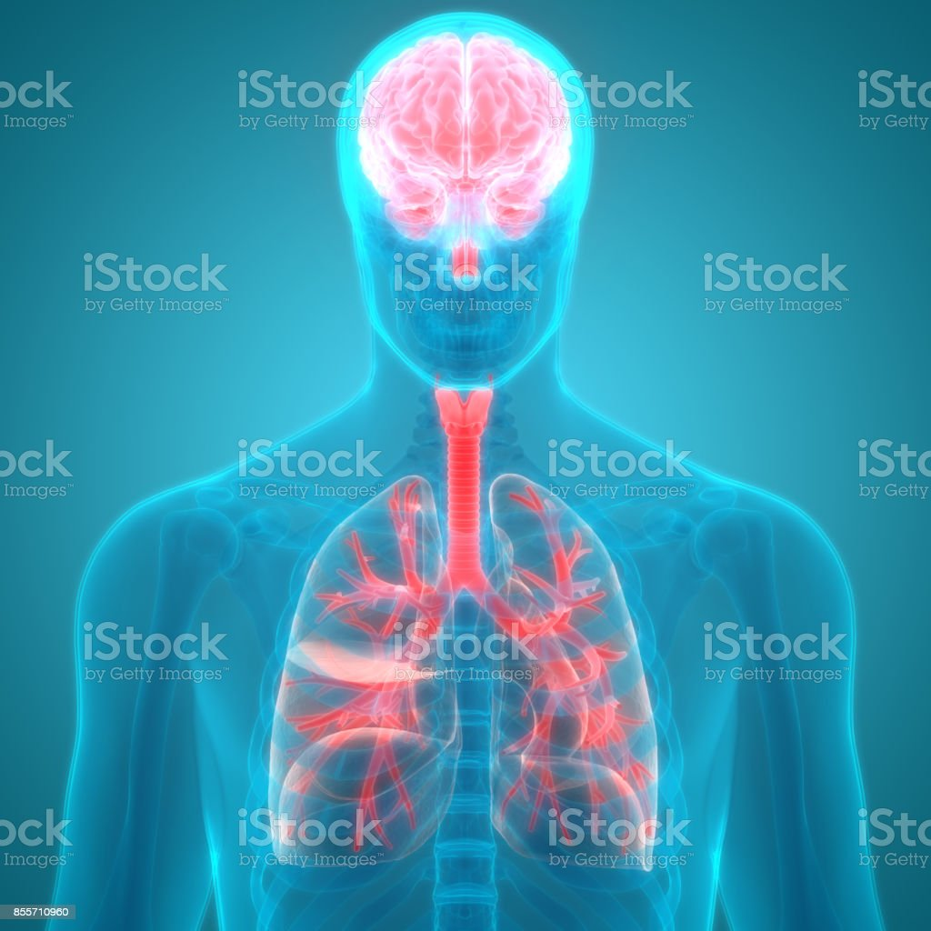 Human Organs Lungs and Brain Anatomy stock photo