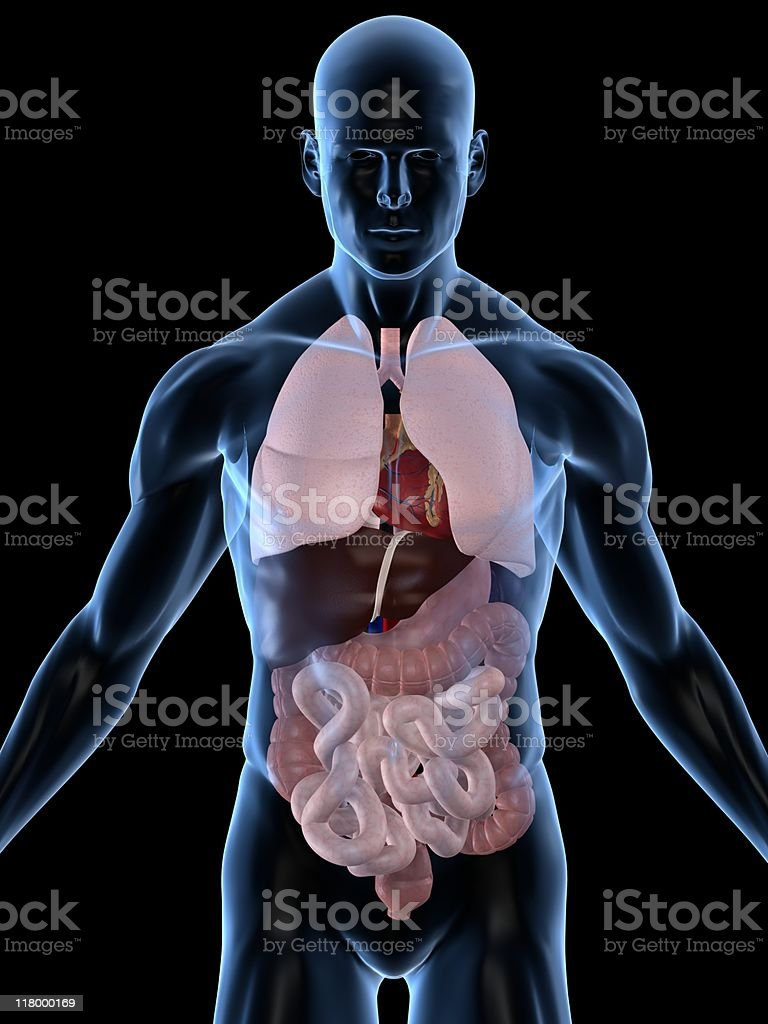 human organs royalty-free stock photo