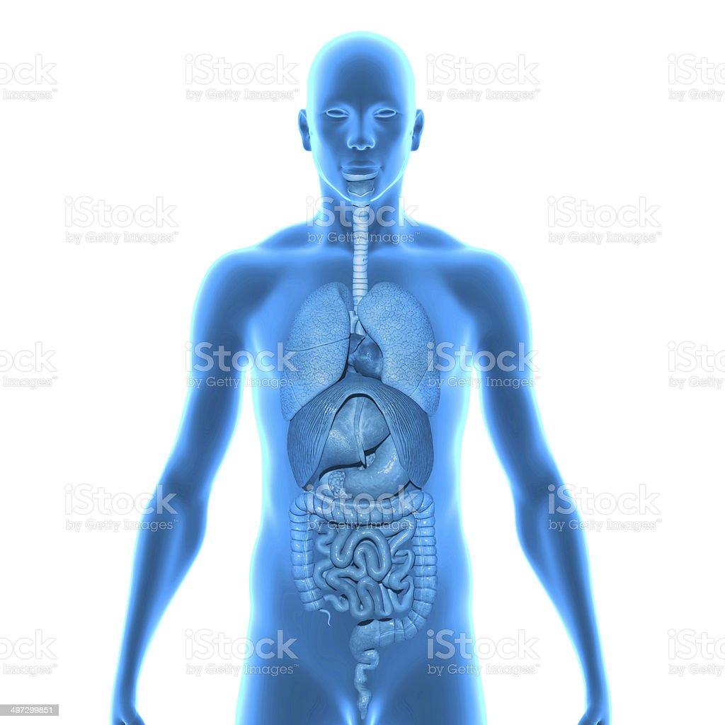 Human Organs stock photo