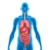 istock Human Organs 497300375