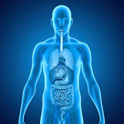 istock Human Organs 497371471