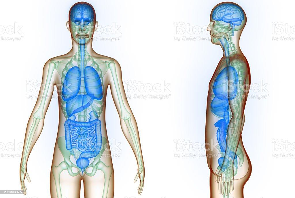 Menschliche Organe Gehirn Lungen Große Und Kleine Darm Und Nieren ...