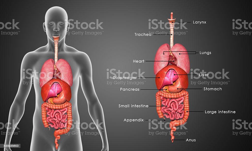 Órganos humanos - foto de stock