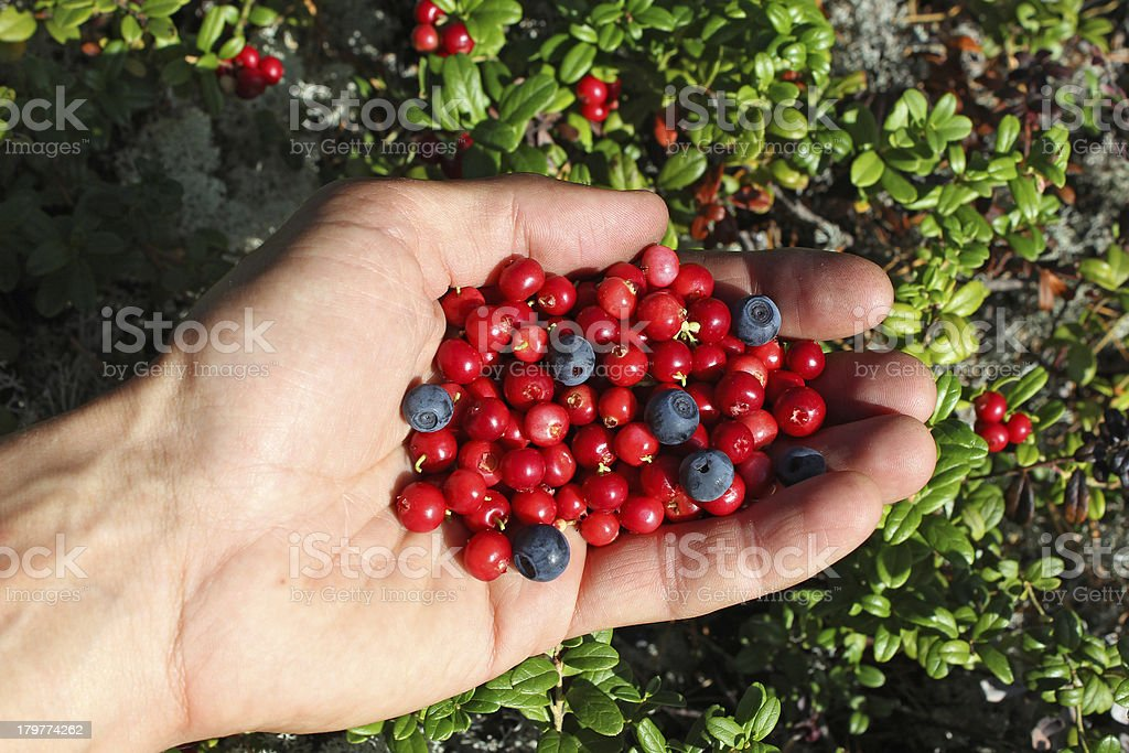 human palm full of berries, cowberry and blueberries royalty-free stock photo