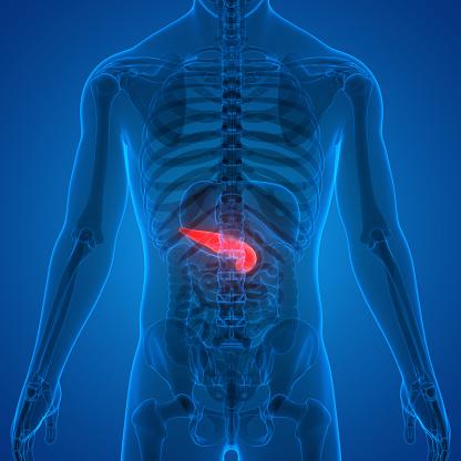 Human Pancreas Anatomy Stock Photo - Download Image Now ...