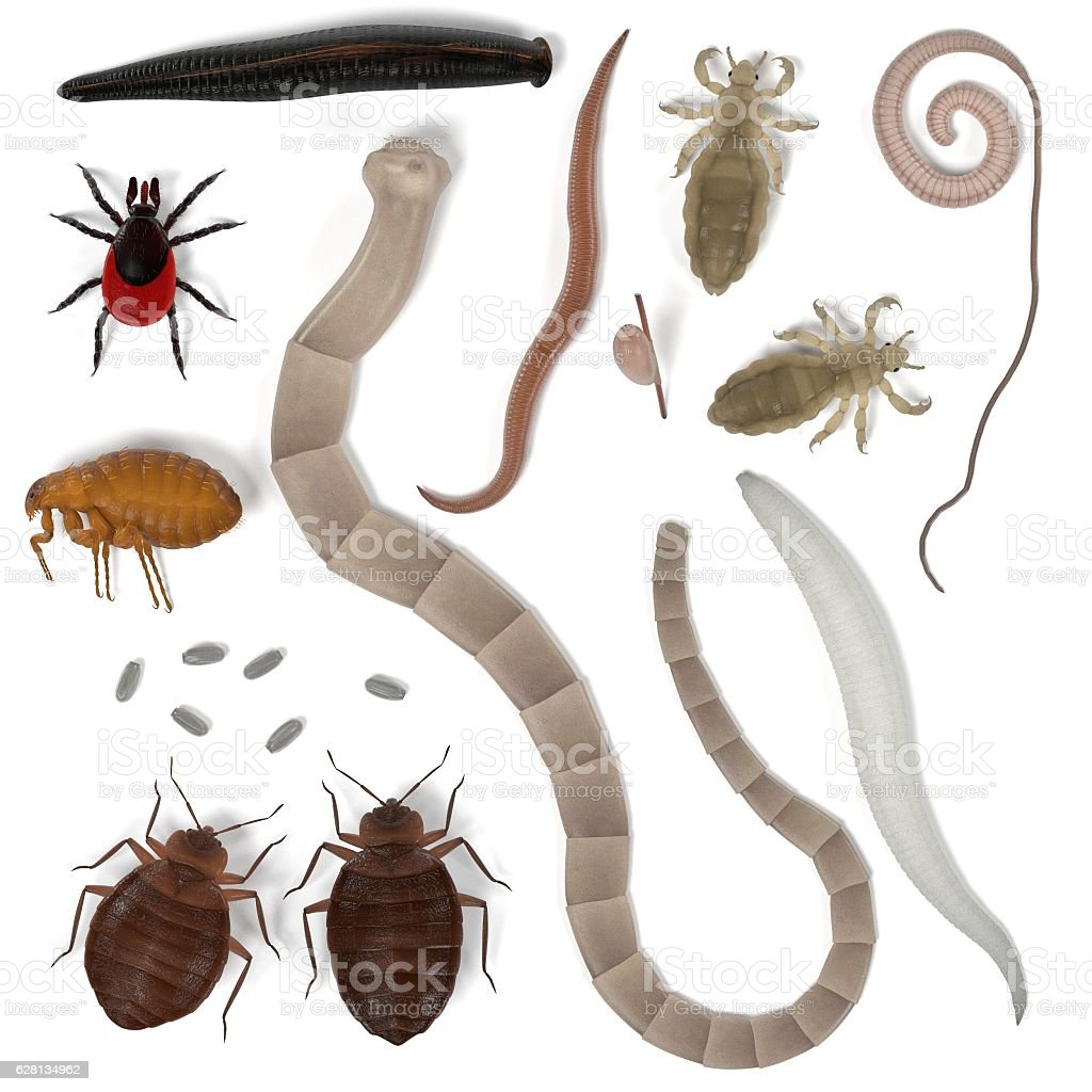 human parasites stock photo