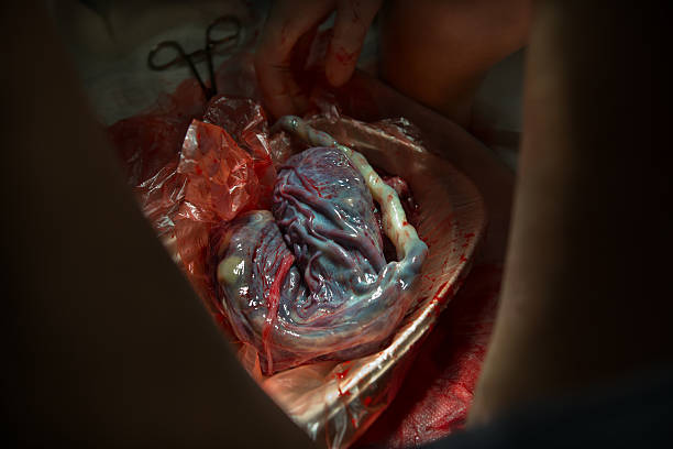 human placenta after birth - placenta stock photos and pictures