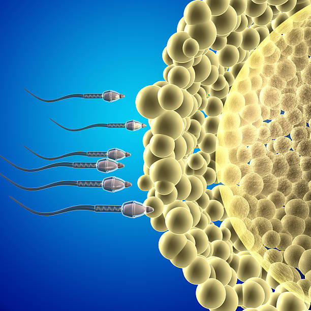Human reproductive system stock photo