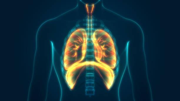 Human Respiratory System Anatomy stock photo