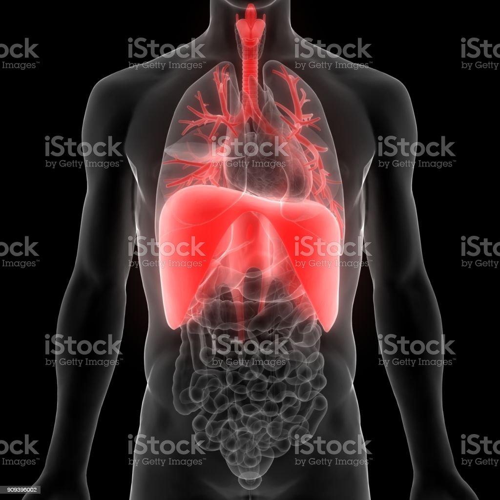 Fotografía de Anatomía Humana Sistema Respiratorio y más banco de ...