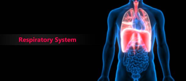 Human Respiratory System (Lungs, Diaphragm) Anatomy stock photo