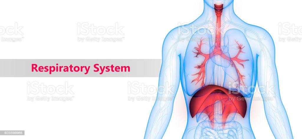 Human Respiratory System Anatomy Stock Photo More Pictures Of