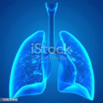 istock Human Respiratory System Lungs Anatomy 1028277540