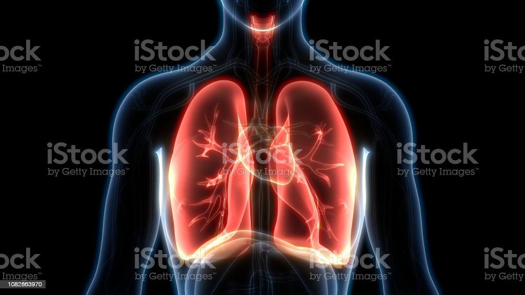 人間の呼吸器の肺の解剖学 - 肺のロイヤリティフリーストックフォト