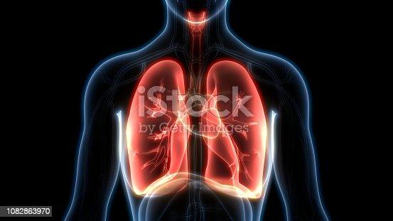 istock Human Respiratory System Lungs Anatomy 1082863970