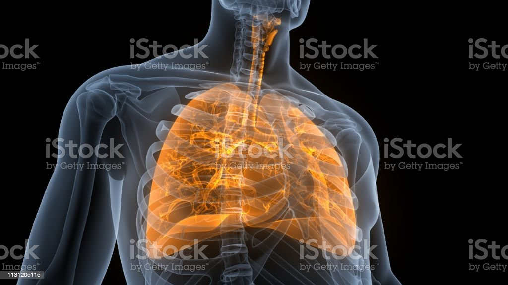 3D Illustration of Human Respiratory System Lungs Anatomy