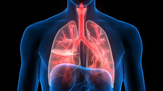 istock Human Respiratory System Lungs Anatomy 1244335285