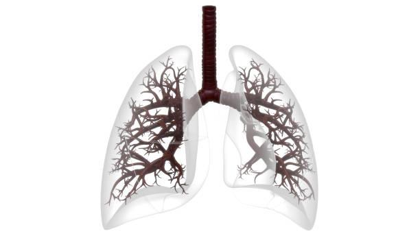 Human Respiratory System Lungs Anatomy stock photo