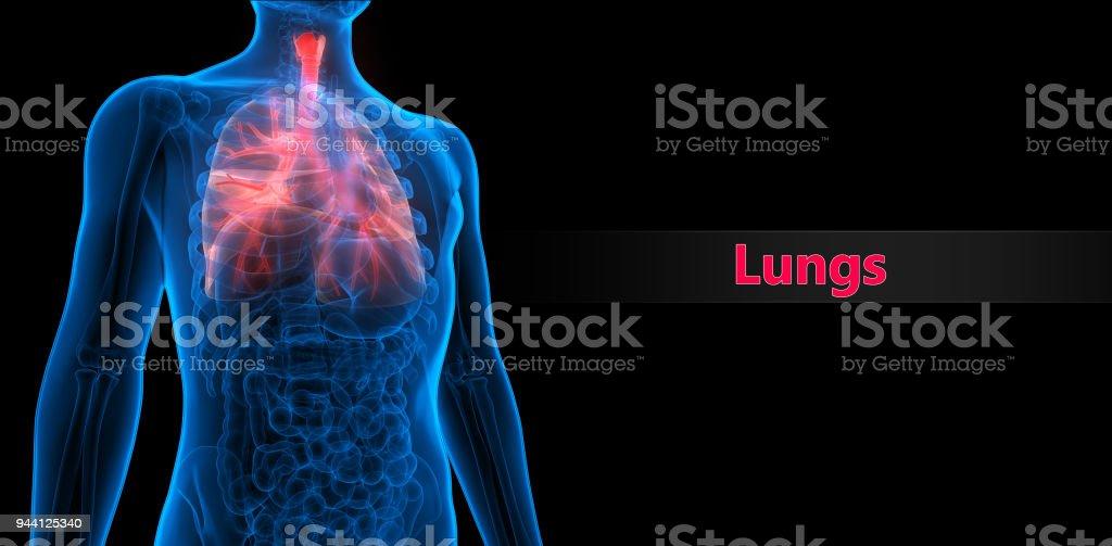 Sistema Respiratorio Humano Pulmones Anatomía - Fotografía de stock ...