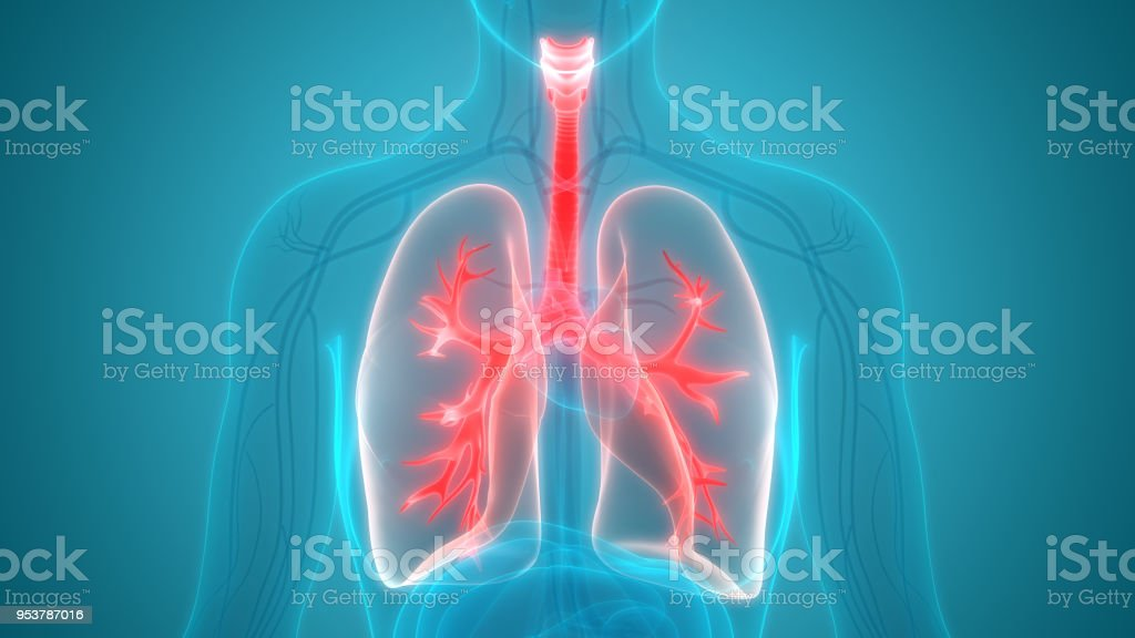 Human Respiratory System Lungs Anatomy stock photo