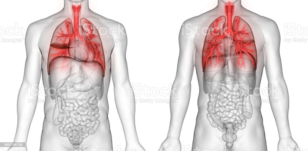 Human Respiratory System Lungs Anatomy Stock Photo More Pictures