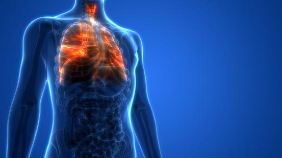 istock Human Respiratory System Lungs Anatomy 961748742
