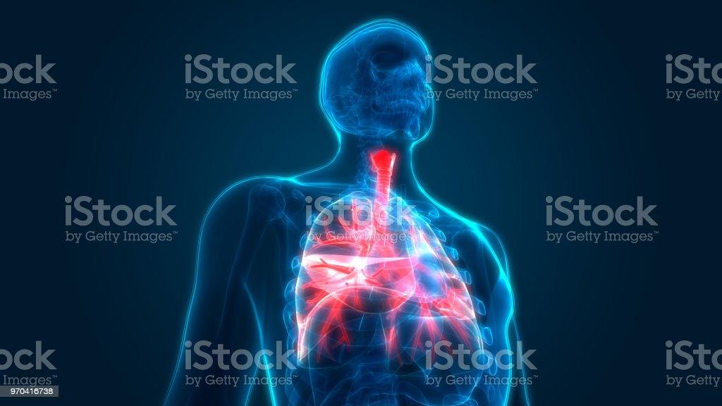 Menschlichen Atemwege Lunge Anatomie Stock-Fotografie und mehr ...