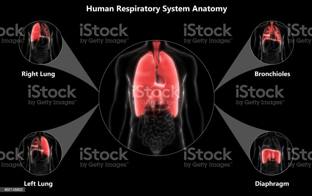 Fotografía de Humano Sistema Respiratorio Pulmones Anatomía Del ...