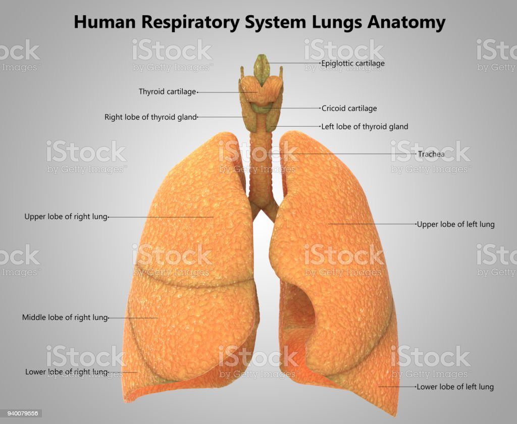 Human Respiratory System Lungs Label Design Anatomy stock photo