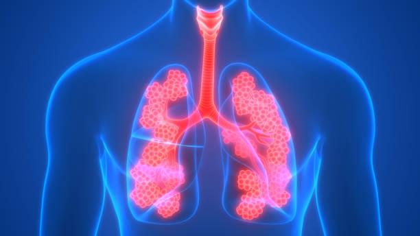 Human Respiratory System Lungs with Alveoli Anatomy stock photo